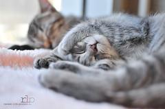 Sleepy-Babies (Random Life Project) Tags: cats canada animals cat edmonton kittens alberta ehs adoption edmontonhumanesociety