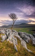 Twistleton Tree (MF65) Tags: park mountain tree dawn rocks yorkshire windy national valley windswept scar dales hawthorn 2014 ingleborough limestonepavement twistleton landscapesshotinportraitformat {vision}:{sunset}=0583 {vision}:{mountain}=0761 {vision}:{clouds}=0764 {vision}:{sky}=094 {vision}:{outdoor}=0893 {vision}:{ocean}=0551