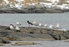 Tjelden p plass (Arnt Kvinnesland) Tags: vinter vr kyst karmy krasanden tjeld hettemke fiskemke grmke trekkfugler sjfugler