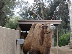Bactrian camel_3 (BostonMike67) Tags: animals zoo sandiego camel sandiegozoo bactriancamel