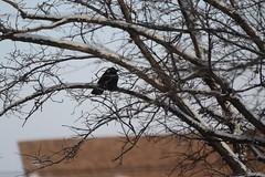 Raven in a Tree (Vegan Butterfly) Tags: winter snow tree bird animal winnipeg branches raven