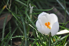 Pavilion_Gardens_0063 (Peter-Williams) Tags: uk flowers garden sussex countryside brighton crocus daffodil parkland carmelia paviliongardens
