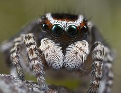 _X8A8237 peacock spider Maratus harrisi (Jurgen Otto) Tags: