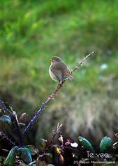 Te veo ({Manzanas Rojas R.} Raquel.) Tags: naturaleza bird animals animales pjaro