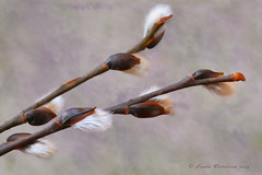 Our First Sign of Spring (Lindaw9) Tags: ontario texture spring pussy processing northern willows nikond7100