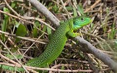 Lézard vert (Lacerta viridis )  IMG_0384 (6franc6) Tags: languedoc gard 30 petite camargue réserve scamandre 6franc6 2014 canon eos70d explore