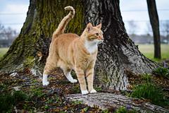 Guarding (jessapaige) Tags: orange pet tree nature animal cat 35mm fur outside outdoors nikon feline tabby paige jessa d3200 jessari