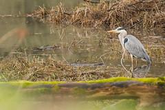 Reiher (Guggelhupf21) Tags: nature germany nikon wildlife tamron badenwrttemberg reiher graureiher d7100 150600
