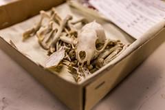 Bones of a marten(bein fra en mr) (morten f) Tags: animal oslo norway museum skull norge bein p bone dag marten dyr kjeller zoologisk skalle bakrommet naturhistorisk pen mr zoloogical