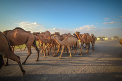 When the camels come home (farflungistan) Tags: mary unesco silkroad centralasia worldheritage merv ancientruins turkmenistan ancientcivilizations