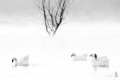 Contorni (_milo_) Tags: bw italy canon lago eos italia maggiore tamron albero biancoenero 70300 angera contorni 60d