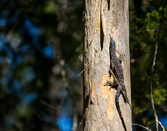 Goanna (Jackie888) Tags: summer baby tree climb bush australia monitor lizard queensland bushwalk goanna