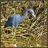 Mid-stride (WanaM3) Tags: bird heron nature nikon texas wildlife ngc bayou pasadena canoeing paddling littleblueheron clearlakecity specanimals d7100 avianexcellence horsepenbayou wanam3 nikond7100 sunrays5
