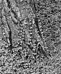 Mingle (Demmer S) Tags: wood trees blackandwhite bw plants plant tree texture monochrome leaves closeup forest botanical outside outdoors blackwhite leaf mix woods close united foliage treetrunk bark combine unite blended trunk botanic treebark blend mingle disappear blackwhitephoto arboreal blackwhitephotos