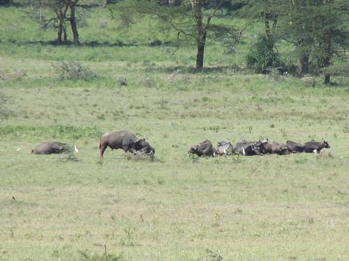 Buffles, Nakuru, Kenya