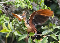 Hoatzin Bird - Opisthocomus hoazin (Vegas Nelson) Tags: camera bird peru amazon places nikond800 hoatzinbird