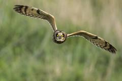 Short-eared Owl (Eric SF) Tags: california fremont owl bestpractices shortearedowl coyotehillsregionalpark ebparks ebparksok