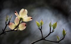 Dogwood Blooms (Vincent Nobel) Tags: ohio flower nature spring nikon d750 dogwood colorefex ohionaturephotography