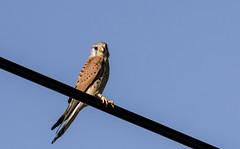 Cerncalo | Falco tinnunculus (annannavarro) Tags: wild brown fauna wings spain aves raptors falco rapaz cernicalo salvaje