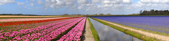 Panorama of the tulip fields, North Holland (Frans.Sellies) Tags: netherlands landscape tulips nederland thenetherlands noordholland tulpen grapehyacinths bollenvelden northholland img59705974 59705974