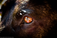 Clarity (chris.ras76) Tags: dogs dutch eyes clarity herder hollandse shepered