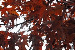 Leopard (IAmnotHamlet) Tags: autumn tree fall nature outdoors oak michigan redoak washtenawcounty