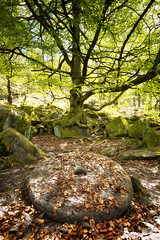 Beneath the Tree (fearghal breathnach) Tags: padleygorge peakdistrict lonetree trees millstone leaves landscape forest england stone pov lowdown portrait framing