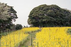 20160424-06 (GenJapan1986) Tags: flower film japan landscape island spring  miyagi   2016      nikonnewfm2  fujifilmfujicolorsuperiapremium400   hojima