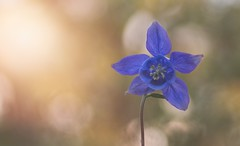 beneath your beautiful (windermereimages1) Tags: flowers blue summer plants sun love wales garden bokeh may aquilegia granny bonnet