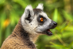 surprise! (mariusz kluzniak) Tags: africa portrait field pose wildlife headshot lemur madagascar depth