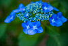 Violet Hydrangea (APGougePhotography) Tags: flowers blur flower detail green nikon bokeh south violet bloom hydrangea topaz d800 denoise topazlabs nikond800 topazdenoise topazdetail