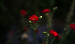 Spirit (jeanmarie shelton) Tags: red flower nature nikon bokeh jeanmarie innamoramento redmatrix phoeniximmortal jeanmarieshelton