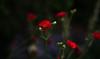 Spirit (jeanmarie's photography) Tags: red flower nature nikon bokeh jeanmarie innamoramento redmatrix phoeniximmortal jeanmarieshelton