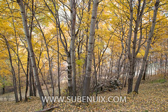 Populus tremula (SUBENUIX) Tags: tree forest arbol stock paisaje bosque arbre bosc pirineus autoctono populustremula altpirineu valldecards valldestaon okphotaki okshutterstock arbolhojasimple