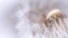 Freedom (Augmented Reality Images (Getty Contributor)) Tags: light flower detail macro nature fruit canon scotland spring soft bokeh perthshire seed 11 dandelion adobe editing lightroom