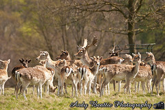 2016-05-04-032 (Andy Beattie Photography) Tags: uk england nature mammal photography europe photographer wildlife yorkshire deer fallowdeer halifax ungulate northyorkshire westyorkshire ripon eventoed pecora damadama hoofed andybeattie andybeattiephotography