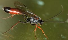 13.3 mm female ichneumon (ophis) Tags: ichneumon hymenoptera ichneumonidae ichneumonoidea parasitica campopleginae dusona