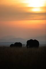 Where giants roam (cdx_cdx) Tags: silhouette sunrise landscape dawn kenya safari elephants masaimara canonef500mmf4lisii canoneos1dxmarkii