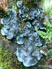 Dictyonema sp. ou Cora sp. (F.J.De Jesus) Tags: monteverde cora pavonia glabratum dictyonema dictyonemaglabratum corapavonia
