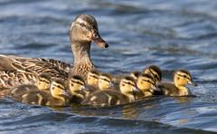 20160519sixD-0730 (Dugt1) Tags: 2016 7d glenshirepond chics mallard ducklings