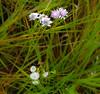 quinta_1 (Carlos A. Nascimento) Tags: flordocampo natureza florzinha