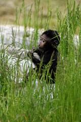 Baby Sulawesi Macaque, Marwell Zoo (jim_2wilson) Tags: baby ape marwellzoo sulawesimacaque jimwilson sonya77 sony70400mmssmii