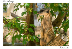 The guard (tom22_allgaeu) Tags: nature animals bayern deutschland bavaria zoo tiere nikon europa natur tamron augsburg erdmnnchen suricata d3200