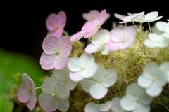 Softly Light (tez-guitar) Tags: summer flower macro rain pentax blossoms petal rainy bloom hydrangea tamron pentaxart