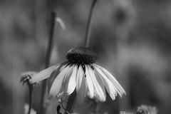 _SAF7488 (sara97) Tags: park blackandwhite bw flower nature outdoors blackwhite echinacea missouri coneflower saintlouis forestpark citypark urbanpark photobysaraannefinke copyright2016saraannefinke