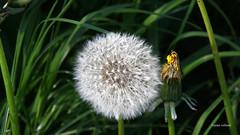 2-IMG_1451 (hemingwayfoto) Tags: blhen blte blume lwenzahn pusteblume weis
