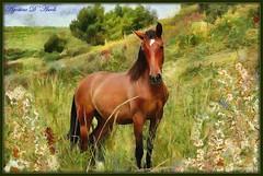 Puledro - Maggio-2016 (agostinodascoli) Tags: texture nature photoshop nikon digitalpainting nikkor cavallo animali sicilia photopainting puledro cianciana