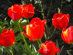 Red tulips (Stella VM) Tags: flowers red garden tulips
