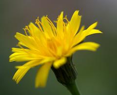 IMG_8889.CR2 (jalexartis) Tags: flowers flower spring dandelion bloom blooms