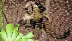 DSCF9904 (philm54) Tags: monkey grabbing